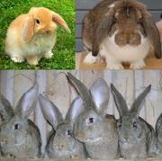 Элитные кролики самой крупной породы в мире.