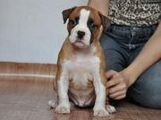 Красный щенок Амстафика