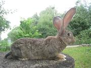 Кролики гиганты Фландр,  Ризен,  Баран. Красноярс