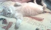 89082202774 подарю кота перссиковый